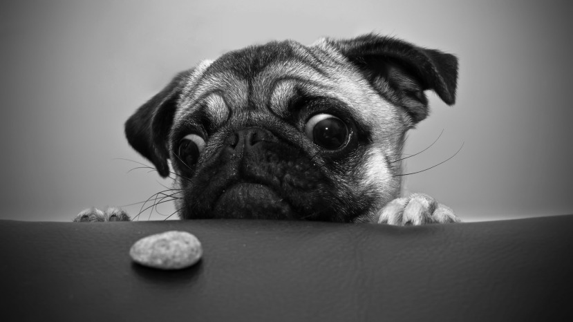 Pug-Dogs-Cookies-Dog-Eyes-Chinese-Desktop-Backgrounds